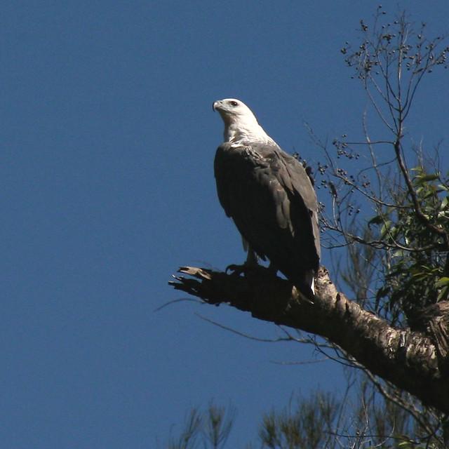 White-bellied Sea-Eagle.