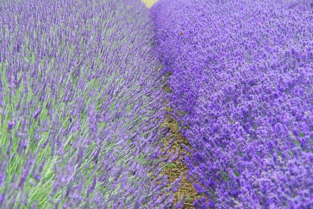 snowshill lavender varieties