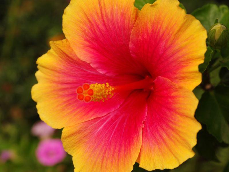 On Black Hibiscus At Flower Shop By Bluehazyjunem Large