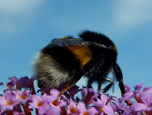 furry bumble-bee