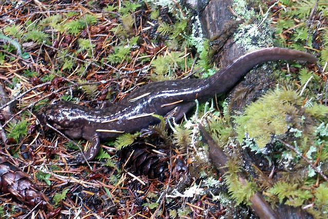 Pacific Giant Salamander | Flickr - Photo Sharing!