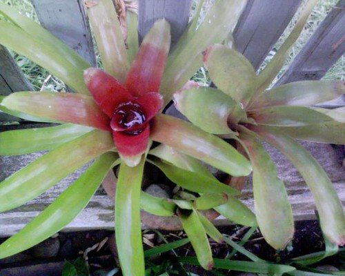 My variegated Bromeliad