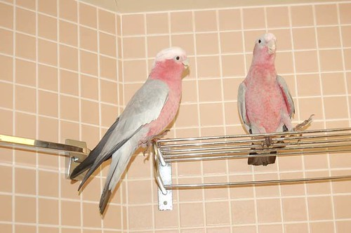 parrot training, cockatoo, rose breasted cockatoo