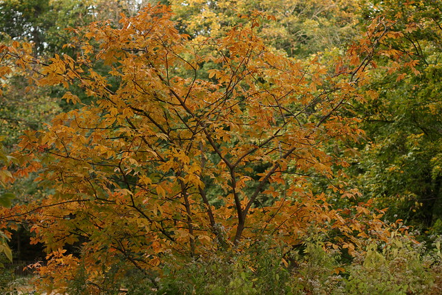 Aesculus glabra autumn foliage. Photo by Uli Lorimer.