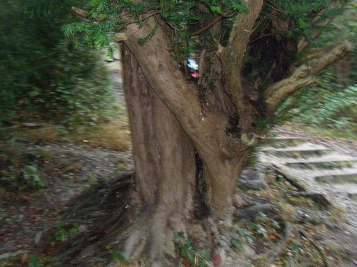 Yew on Box Hill