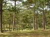pine long leaf