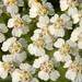 Achillea millefolium YARROW by gmayfield10