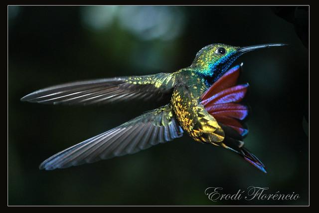 Hummingbird   -   Beija - flor