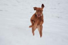 labrador retriever(0.0), puppy(0.0), nova scotia duck tolling retriever(0.0), retriever(0.0), animal(1.0), dog(1.0), snow(1.0), pet(1.0), mammal(1.0), vizsla(1.0),
