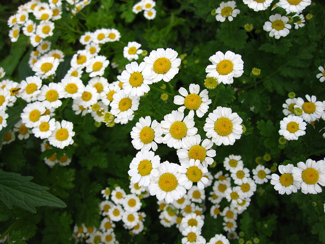 Feverfew (Tanacetum parthenium) in the Herb Garden. Photo by Rebecca Bullene.