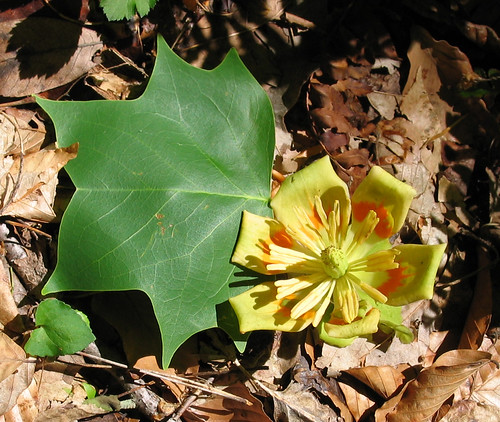 Tulip poplar flower and leaf, Liriodendron tulipifera (official state tree of Kentucky)