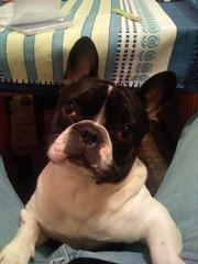 dog breed, animal, dog, pet, olde english bulldogge, toy bulldog, french bulldog, boston terrier, carnivoran, bulldog,