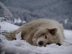 arctic fox, animal, canis lupus tundrarum, dog, arctic, winter, gray wolf, snow, pet, mammal, greenland dog, samoyed,