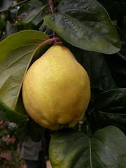Cydonia oblonga (Rosaceae)