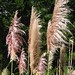 Purple Pampas Grass - Photo (c) Jon Sullivan, some rights reserved (CC BY-NC)