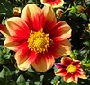 From Mexico to Spain and Holland:  Dahlia, Bad Zwischenahn, Germany por Rana Pipiens