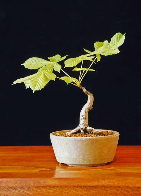 Horse Chestnut Bonsai Tree Aesculus Hippocastanum