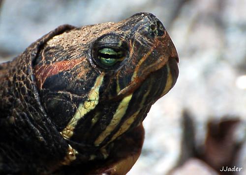 Principais doenças de tartarugas - Petlove - O Maior Petshop Online do Brasil