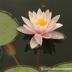 Water Lily - Pulkau, Austria