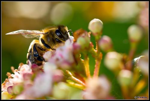 Une abeille qui butine en hiver - macro
