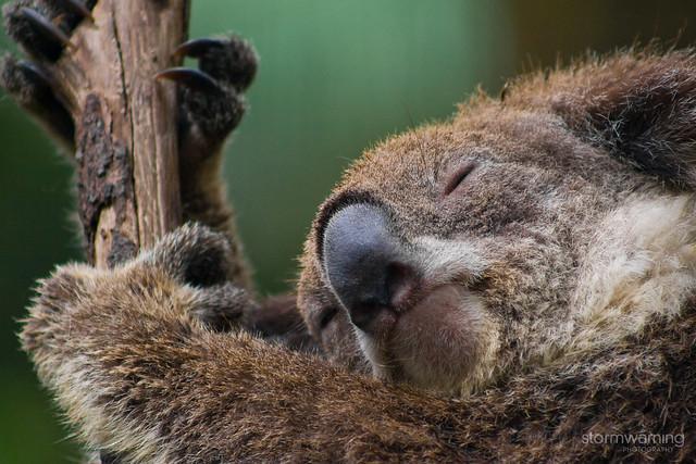 currumbin_koala