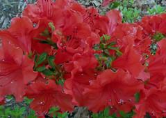 annual plant, shrub, flower, leaf, red, flora, petal, azalea,