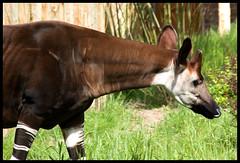 mare(0.0), stallion(0.0), foal(0.0), animal(1.0), okapi(1.0), fauna(1.0), giraffidae(1.0),