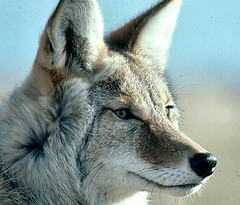 kit fox(0.0), animal(1.0), canis lupus tundrarum(1.0), czechoslovakian wolfdog(1.0), gray wolf(1.0), red wolf(1.0), mammal(1.0), fauna(1.0), fox(1.0), wolfdog(1.0), close-up(1.0), saarloos wolfdog(1.0), coyote(1.0), wildlife(1.0),