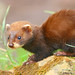 Mustelids - Photo (c) Keven Law, some rights reserved (CC BY-SA)