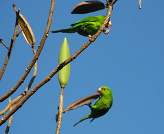 animal, parrot, branch, fauna, finch, parakeet, common pet parakeet, beak, bird,