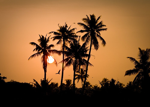sunset coconut kerala coconuttree kollam backwaters saternal