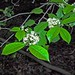Small photo of American Holly flowers