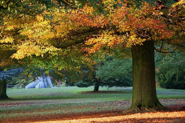 Beech tree, Fagus sylvatica at the Yorkshire Sculpture Park