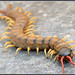 Giant Centipedes - Photo (c) Eran Finkle, some rights reserved (CC BY)