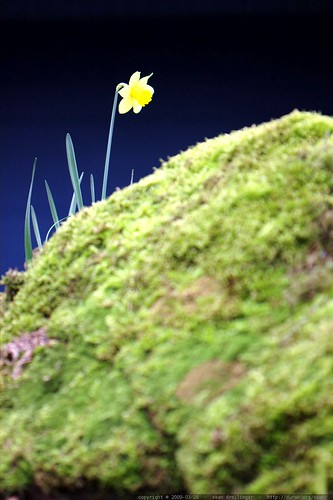 mossy rock and daffodil in our front yard    MG 9961
