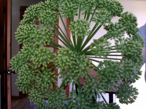 angelica specialty cut flower