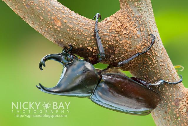 Rhinoceros Beetle (Dynastinae) - DSC_7758