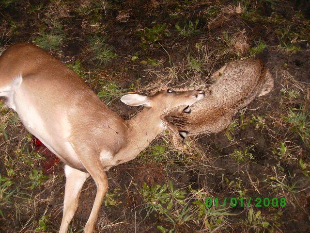 bobcat and deerboth dead flickr photo sharing