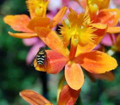 Farmers Market Epidendrum and Deer Fly