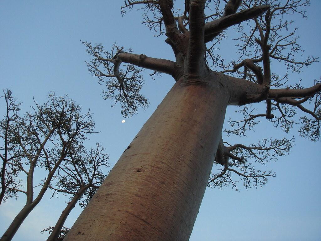 バオバブを下から見上げた風景