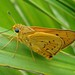 Small photo of Skipper Butterfly (Family: Hesperiidae)