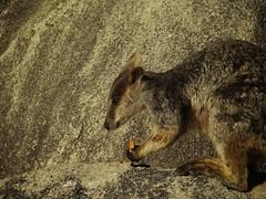 hare(0.0), squirrel(0.0), kangaroo(0.0), wallaby(1.0), animal(1.0), nature(1.0), mammal(1.0), fauna(1.0), macropodidae(1.0), wildlife(1.0),