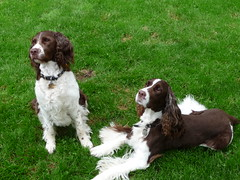 boykin spaniel(0.0), lagotto romagnolo(0.0), king charles spaniel(0.0), setter(0.0), english cocker spaniel(0.0), braque d'auvergne(0.0), cockapoo(0.0), american water spaniel(0.0), dog breed(1.0), animal(1.0), dog(1.0), welsh springer spaniel(1.0), pet(1.0), small mã¼nsterlã¤nder(1.0), field spaniel(1.0), drentse patrijshond(1.0), brittany(1.0), russian spaniel(1.0), picardy spaniel(1.0), blue picardy spaniel(1.0), spaniel(1.0), german spaniel(1.0), french spaniel(1.0), english springer spaniel(1.0), american cocker spaniel(1.0), carnivoran(1.0),