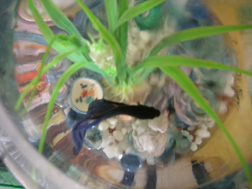 Male and female betta fish together for Betta fish together