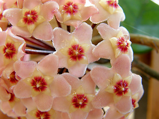 192 Hoya carnosa -The Wax Flower