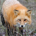 Red Fox - Photo (c) matt knoth, some rights reserved (CC BY-NC-ND)