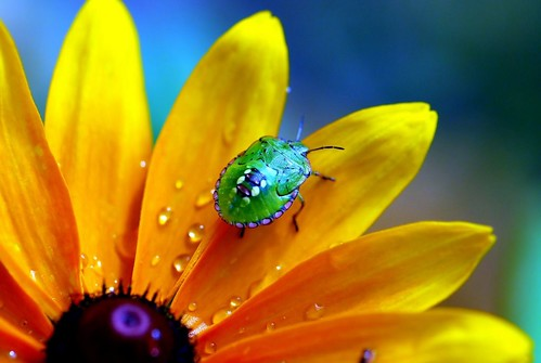 Summer colours (Flower) Nature, Stink bug, Nezara viridula, Shield bug on Rudbeckia