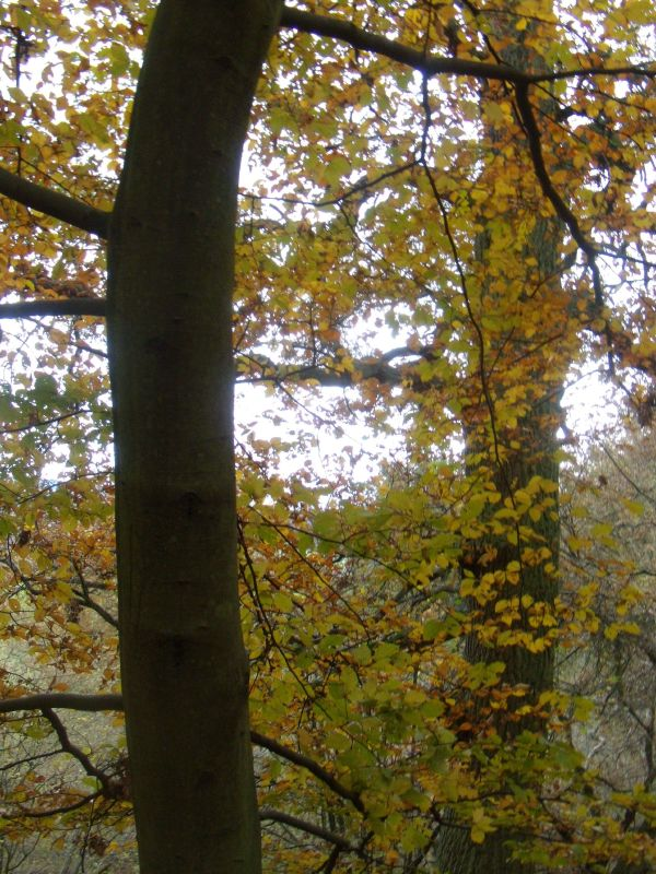Autumn colour Guildford Circular via Chantries Hill