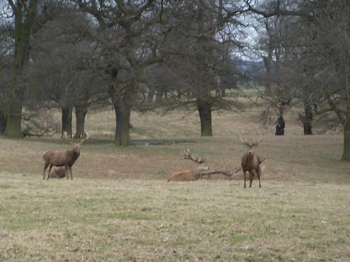 Deer, Woburn Park