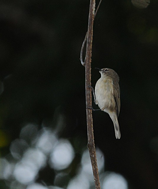 Large billed gerygone